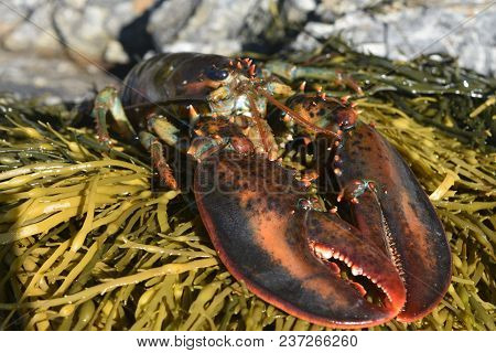 Large Red Atlantic Lobster Resting On A Bed Of Seaweed