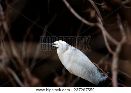 A White Japanese Egret Wades Through A Small River In Yamato, Japan.