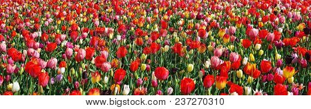 Beautiful Landscape With Blooming Multicolored Flowers. Spring Outdoor Scenery, Panoramic View. Pano
