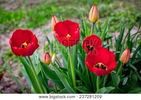 Red Tulips On The Flower Bed. A Gift In Honor Of The Holiday