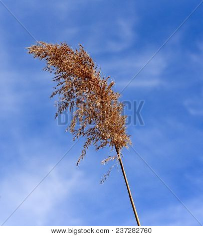 Seed Head Of The Common Reed Grass Silhouetted Against A Blue Sky.