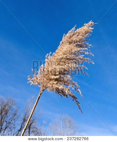 Seed Head From A Common Reed Silhouetted Against A Blue Sky.