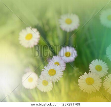Abstract Macro Photo With Daisy.daisy In Grass.field Daisy Flowers.white Chamomile Marguerite Daisy