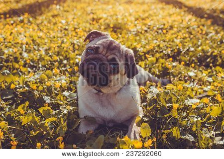 Pug Dog Walking In Spring Forest. Puppy Lying Among Yellow Flowers In The Morning And Looks At Camer