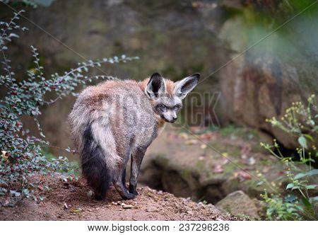 Big Eared (bat-eared) Fox Over Natural Background