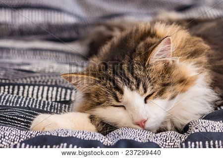 Close-up Of Tabby Cat Sleeping On Blue Duvet