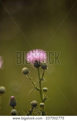 Spiky Purple Thistle Flower Carduus Horridulum Grows In A Marsh In Naples, Florida