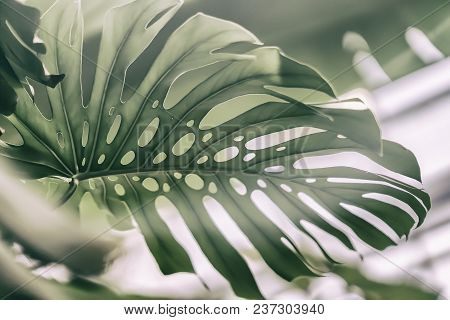Tropical Natural Monstera Leaves With Texture. Split-leaf Philodendron, Tropical Foliage. Abstract N