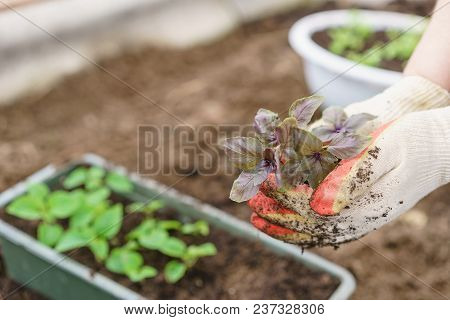 Hands Holding Beautiful Purple Basil Plants With Ground And Roots. They Are Ready For Planting In Th