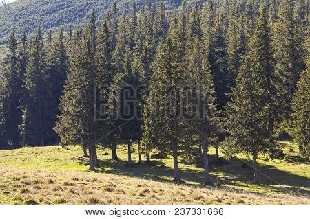 Magnificent pine forest growing on steep slope of mountain, covered with lavish green grass. Bright sun rays shining through mighty tree trunks. National inheritance and forest protection concept. poster