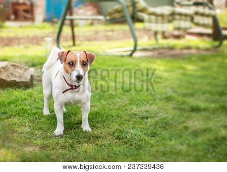 A Small Dog Jack Russell Terrier Standing On Green Grass In Yard At Summer Sunny Day. Terrier Dog Un