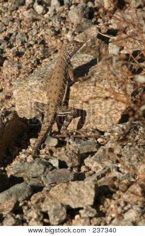 Zebra Tail Lizard