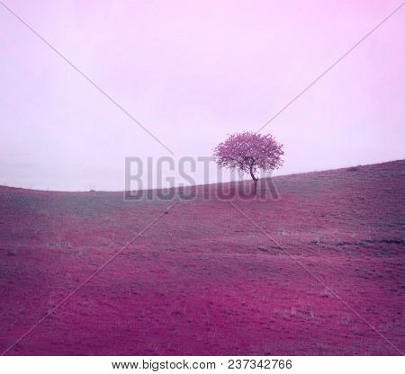 Alone lilac mist  tree on meadow. Nature background