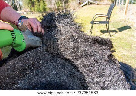 Sheep Shears Working Hard On A Sheep Fleece A Warm Spring Day