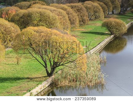 Autumn Willows On A City Pond. Russia