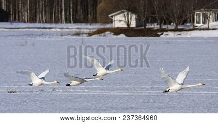 A Flock Of Whooper Swan In Migration. Leaving A Rest Place. Heading North. Buildings In The Backgrou