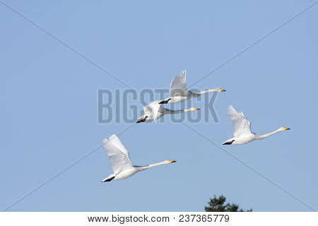 A Group Of Whooper Swan In Migration. Clear Blue Sky In April. Heading North. Forest In The Backgrou