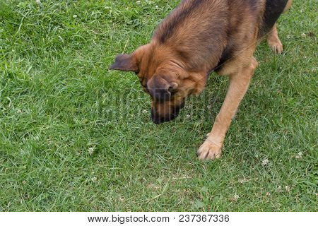 A German Shepherd Lowered His Head Down The Grass To Sniff