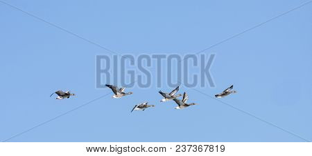 A Flock Of Graylag Geese In Migration. Clear Blue Sky In April.