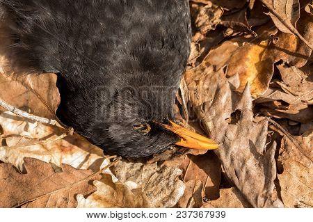 Dead Bird In Dead Oak Leaves. Blackbird, Turdus Merula, Lying In Brown Leaves On The Ground. Norway.