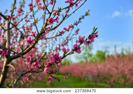 Blooming Pink Peach Blossoms On Tree Stick With Peach Trees Garden On Background In The Beginning Of