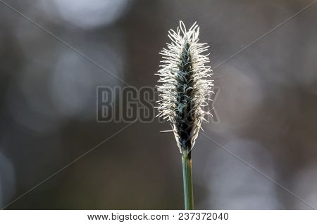 Blooming Cottongrass, Eriophorum Vaginatum. One Plant With Bokeh Forest Background. Backlit.