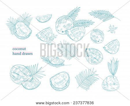 Bundle Of Drawings Of Whole And Split Coconut And Palm Tree Leaves Hand Drawn With Blue Contour Line