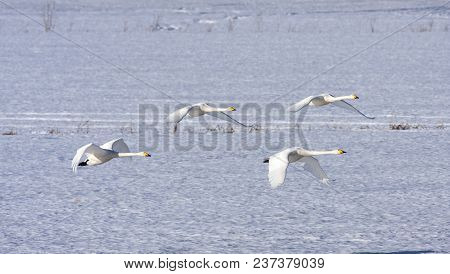 A Group Of Whooper Swan In Migration. Leaving A Rest Place.