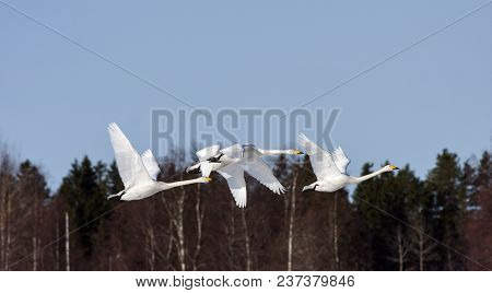 A Group Of Whooper Swan In Migration. Leaving A Rest Place. Heading North. Forest In The Background.