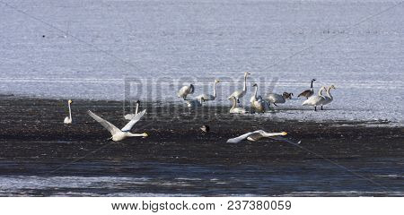Birds Rest In A Pond During Its Migration. Ducks And Whooper Swan.