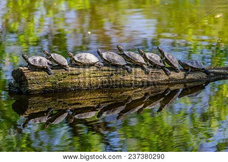 Funny Picture Of Nice Turtles In A Row On An Old Tree Trunk At Lake (trachemys Scripta Elegans).