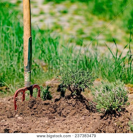 Planting A Lavender Plant In A Garden Bed With A Spade Stuck In The Ground.