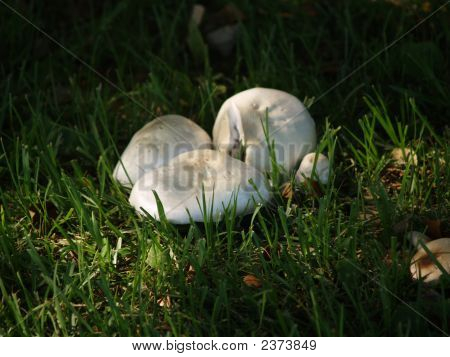 Twighlight Mushrooms (Agaricus Amicosus)