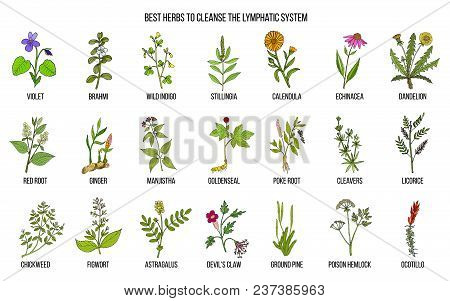 Best Medicinal Herbs To Cleance The Lymphatic System. Hand Drawn Vector Set Of Medicinal Plants