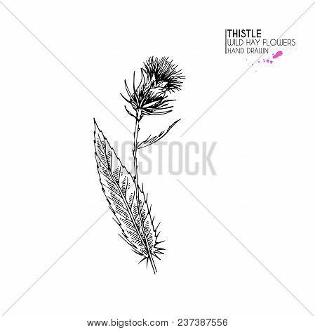 Hand Drawn Wild Hay Flowers. Milk Marian Thistle  Flower. Medical Herb. Vintage Engraved Art. Botani