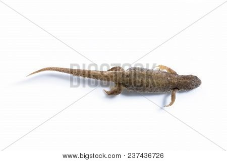 A Newt Floating In Clear Water (isolated)