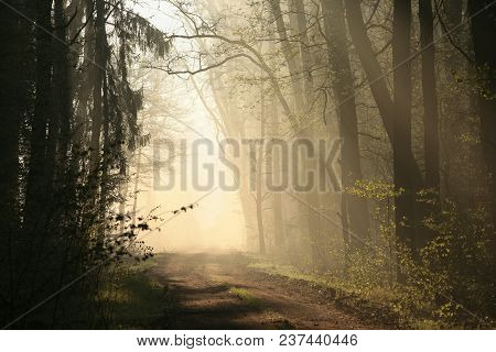 Spring Forest On A Foggy Morning, April, Poland