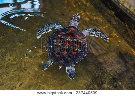 Turtle With Red Dot Shield In The Water