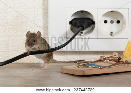 Closeup Mouse Stands Behind Chewed Wire  Near Mousetrap And Electrical Outlet In An Apartment Kitche