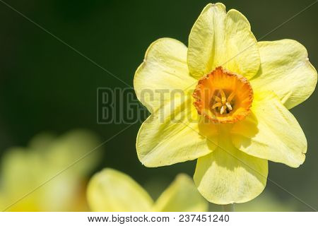 Close-up of a beautiful Yellow Daffodil Flower in the light of the Spring Sun. View to a Yellow Daffodil (Narcissus) on a sunny Day in Spring. Season of flowering Daffodils. Narcissus bloom in the Spring. Close-up of blooming Spring Flowers on a Meadow.
