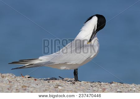A Sandwich Tern, Thalasseus Sandvicensis At The Shoreline On A Beach In Florida With A Blue Backgrou