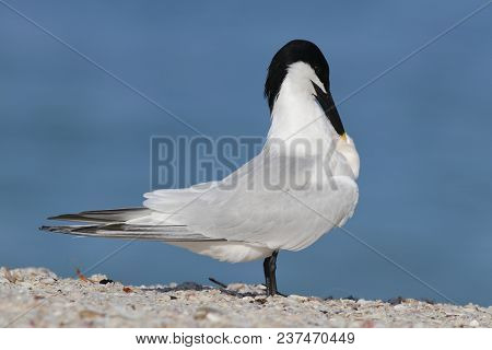A Sandwich Tern, Thalasseus Sandvicensis Preening At The Shoreline On A Beach In Florida With A Blue