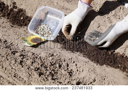 Seed Packaging, Container With Seeds, Prepared Bed, Sowing Sunflower Seeds