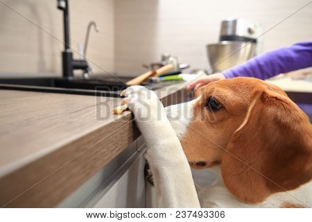 Beagle Dog Steals Yummy From Table. Smart Funny Animals Concept.