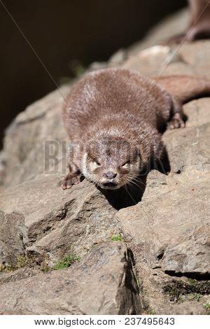 Riverside Otter Drying In The Sun. Beautiful Semiaquatic Mammal Wildlife Image.