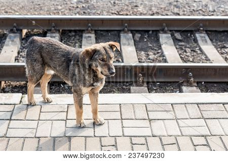 Homeless Mongrel Dog On Railway Station. Alone Sad Pet Looking For New Owner.