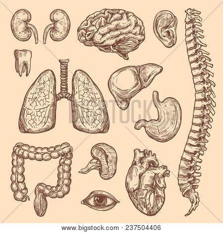 Human Body Anatomy Sketch Icons Of Internal Organs Of Digestive, Respiratory And Vital System. Vecto