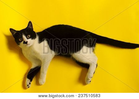 Black Cat On Yellow Background, Cropped Shot.cute Tuxedo Cat With Funny Face.tuxedo Cat Over Yellow