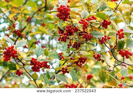 Ripe Red Berries Of A Viburnum On Branches. Autumn In The City Park, Sunny And Clear Day.siberia.