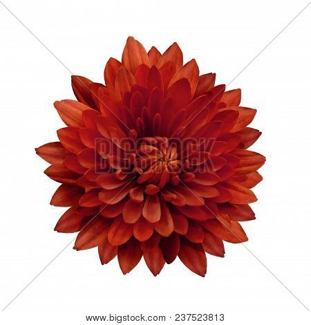Red Flower Dahlia  On A White Isolated Background With Clipping Path.   Closeup.  No Shadows.  For D